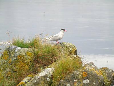 Photograph - Arctic Tern by Susan Lafleur