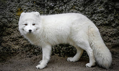 Photograph - Arctic White Fox IIi by Athena Mckinzie
