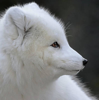 Photograph - Arctic White Fox Portrait by Athena Mckinzie