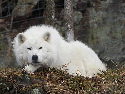 Photograph - Arctic Wolf by Betty-Anne McDonald