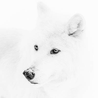 Photograph - Arctic Wolf by Wes and Dotty Weber