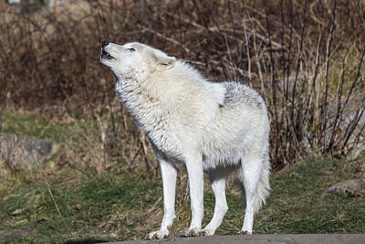 Photograph - Arctic Wolf Howling by Josef Pittner