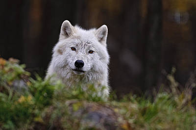 Black. Arctic Wolf Photograph - Arctic Wolf In Autumn by Michael Cummings