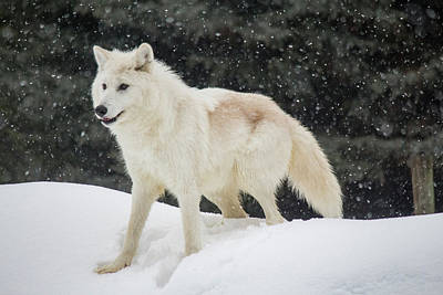 Photograph - Arctic Wolf In The Snow by Teresa Wilson