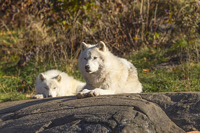 Photograph - Arctic Wolf In The Woods by Josef Pittner