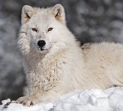 Wildlife Photograph - Arctic Wolf... by Nina Stavlund