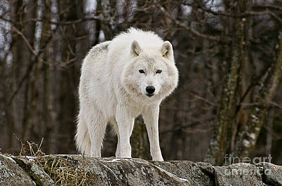 Black. Arctic Wolf Photograph - Arctic Wolf On Hill by Michael Cummings