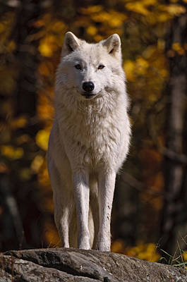 Art Print featuring the photograph Arctic Wolf On Rocks by Michael Cummings