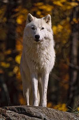 Arctic Wolf On Rocks Print by Michael Cummings