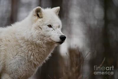 Arctic Wolf Pictures 1242 Original