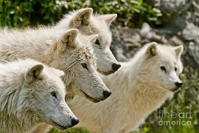 Arctic Wolf Pictures 1256 Original