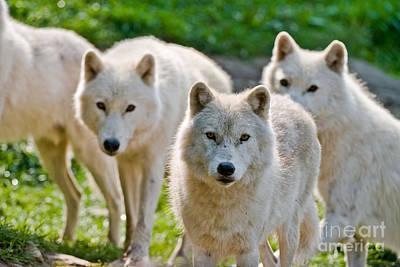 Arctic Wolf Pictures 1261 Original