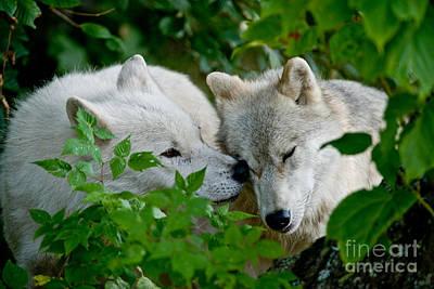 Arctic Wolf Pictures 1263 Original