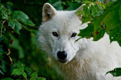 Arctic Wolf Pictures 1265 Original