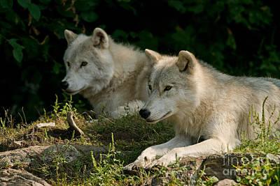 Arctic Wolf Pictures 1268 Original