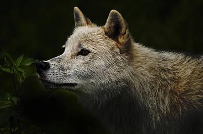 Arctic Wolf Portrait Art Print by Michael Cummings