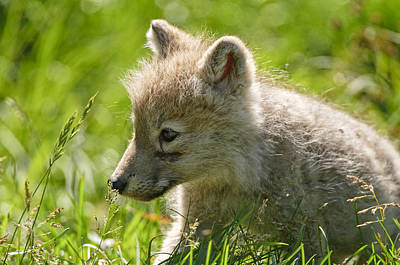Canine Mixed Media - Arctic Wolf Pup In Grass by Michael Cummings