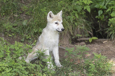 Photograph - Arctic Wolf Pup by Josef Pittner