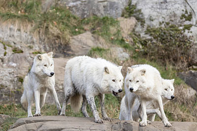 Photograph - Arctic Wolves At Play by Josef Pittner
