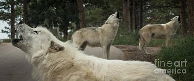 Black. Arctic Wolf Photograph - Arctic Wolves Howling by Dragonfly 'n' Brambles Imagery