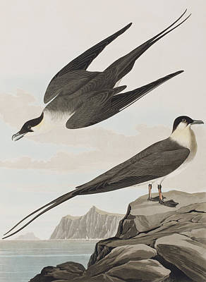 Perching Bird Painting - Arctic Yager by John James Audubon