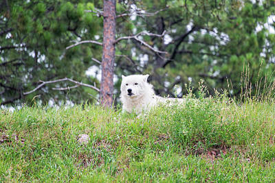 Black. Arctic Wolf Photograph - Arctive Wolf Lying Down by Jess Kraft