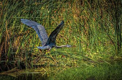 Photograph - Ardea Herodias Flying by Ray Congrove