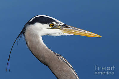 Photograph - Ardea Herodias - Great Blue Heron by Sue Harper