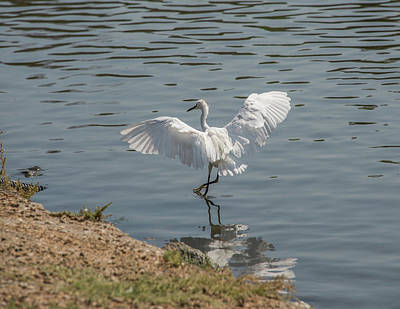 Are You Ready To Dance - Great Egret In Mtn View Ca Art Print