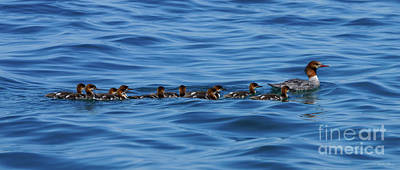 Photograph - Are Your Ducks In A Row? by Jennifer White