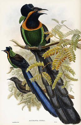 Papua Painting - Arfak Astrapia by John Gould