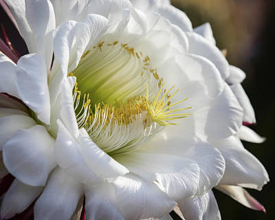 Photograph - Argentine Giant Cactus Bloom-_mg_460918 by Rosemary Woods-Desert Rose Images