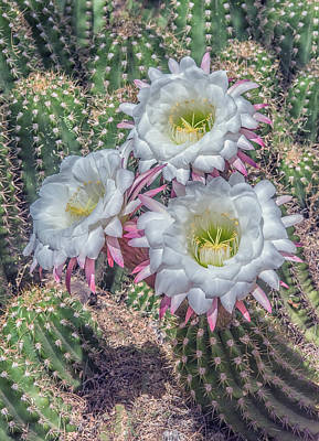 Photograph - Argentine Giant Echinopsis 5897-041118-1cr by Tam Ryan