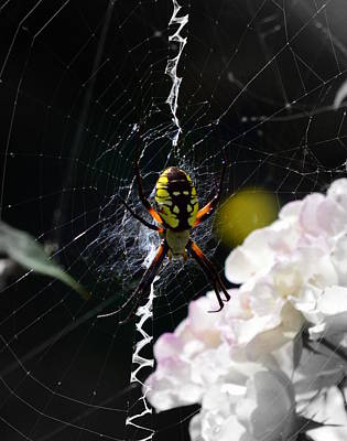 Photograph - Argiope Aurantia In Roses by Kimberly-Ann Talbert