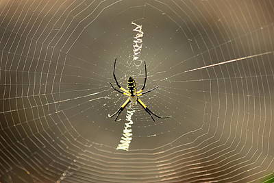 Photograph - Argiope Spider And Web by Sheila Brown