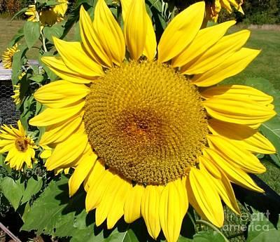 Arikara Sunflower Original