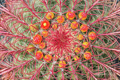 Photograph - Arizona Barrel Cactus by Delphimages Photo Creations
