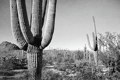 Photograph - Arizona Black And White Cactus Field by Andrea Hazel Ihlefeld