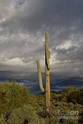 Photograph - Arizona Cactus Early Morning by David Arment