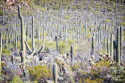 Photograph - Arizona Cactus Trees  by Andrea Hazel Ihlefeld