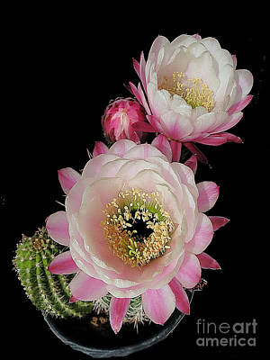 Photograph - Arizona Desert Cactus Flowers by Merton Allen