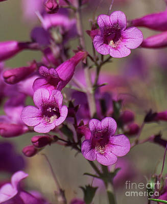 Photograph - Parry's Penstemon Bell  8b9271l by Stephen Parker