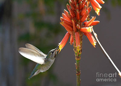 Photograph - Arizona Hummingbird Drinking Aloe Nectar by Tanya Searcy
