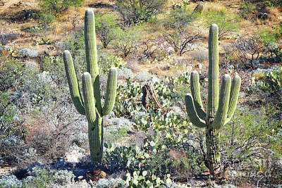 Photograph - Arizona Saguaro Cactus Pair Landscape by Andrea Hazel Ihlefeld