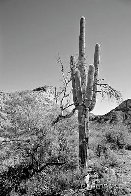 Photograph - Arizona Saguaro by James Jones