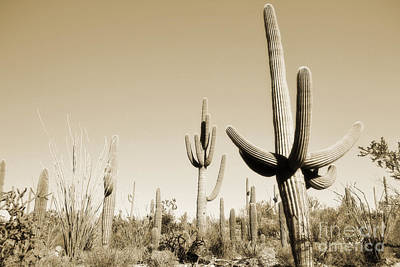 Photograph - Arizona Sepia Cactus Field by Andrea Hazel Ihlefeld