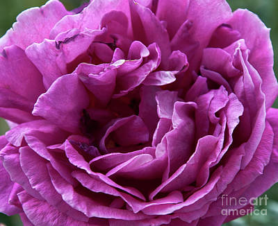 Photograph - Arizona Territorial Rose Garden - Purple Dance by Kirt Tisdale