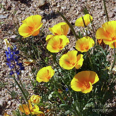 Photograph - Arizona Wildflowers 2 by Methune Hively
