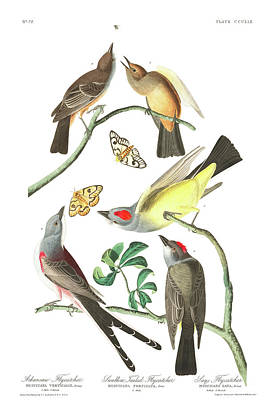 Flycatcher Wall Art - Painting - Arkansaw Flycatcher by John James Audubon