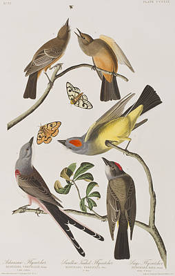 Flycatcher Drawing - Arkansaw Flycatcher Swallow-tailed Flycatcher Says Flycatcher by John James Audubon